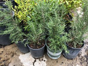Medium rosemary plants for Sale in San Diego, CA