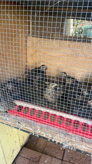Quail for Sale in Woodland, CA