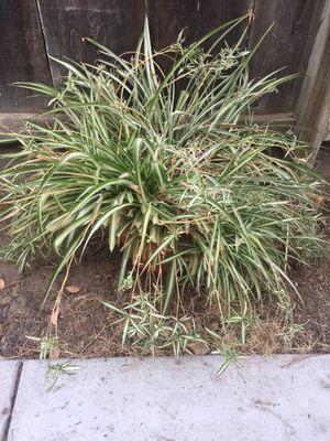 Big spider plant for Sale in Modesto, CA