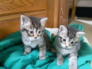 One male n one female kittens for Sale in Delphos, OH