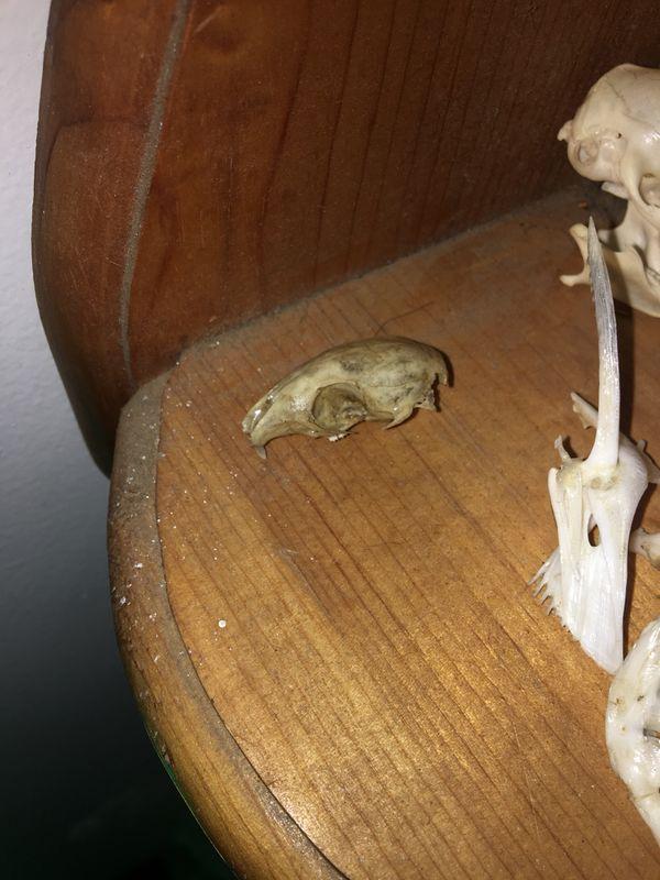 Chipmunk skull