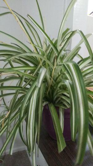 Spider plant babies for Sale in Garden City, MI