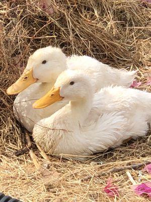 Ducks for Sale in Walnut Creek, CA