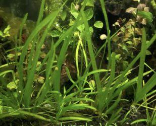 Jungle Vallisneria Jungle Val • Aquatic Plant • Pond / Aquarium for Sale in Newport Beach,  CA