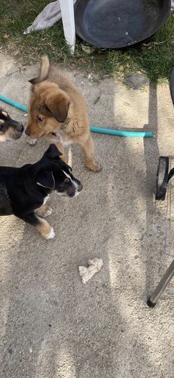 Dog for Sale in Bakersfield,  CA
