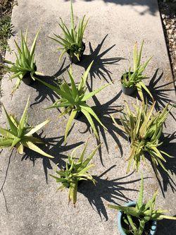 Aloe Plants for Sale in Port Charlotte,  FL