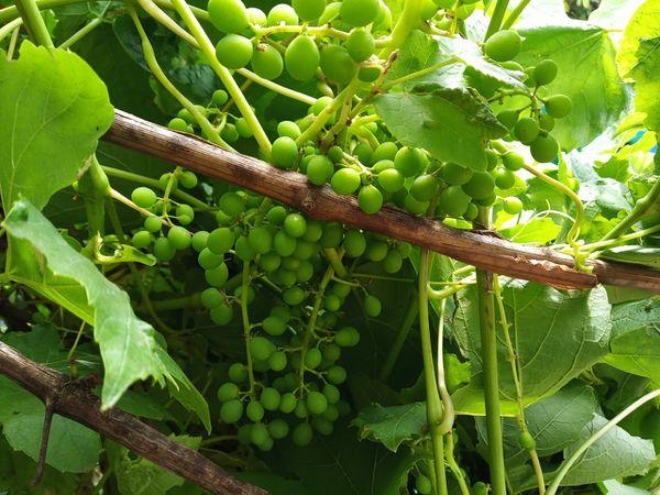 Grape vine free