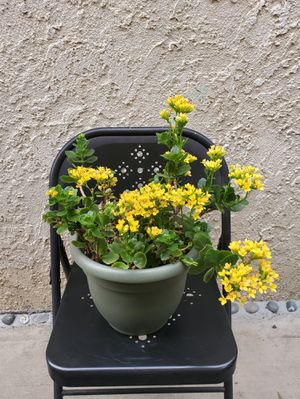 Yellow Kalanchoe Plant for Sale in Garden Grove, CA
