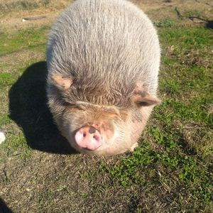 Potbelly Pig for Sale in Oakdale, CA