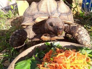Big tortoise for Sale in Pembroke Pines, FL