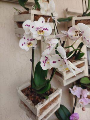 Orchids for Sale in Miami, FL
