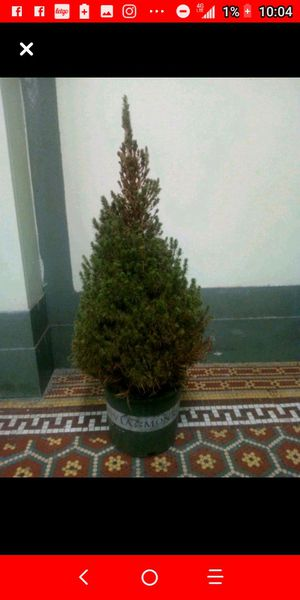 Pine tree for Sale in The Bronx, NY