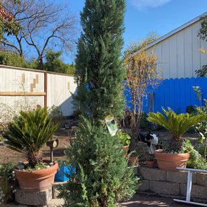9 Foot Tall Blue Point Juniper Tree For Sale!! for Sale in Concord, CA