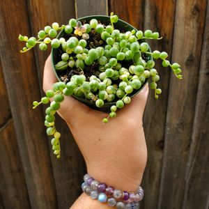 Variegated String Of Pearls for Sale in Byron, CA