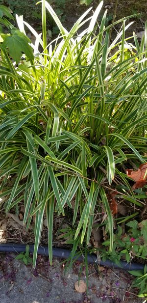 free perennial plant for Sale in Virginia Beach, VA