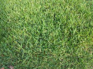 Fresh st Augustine sod 6 pallets for Sale in Winter Garden, FL