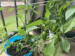 Orange color sweet peppers plant for Sale in Dallas, TX