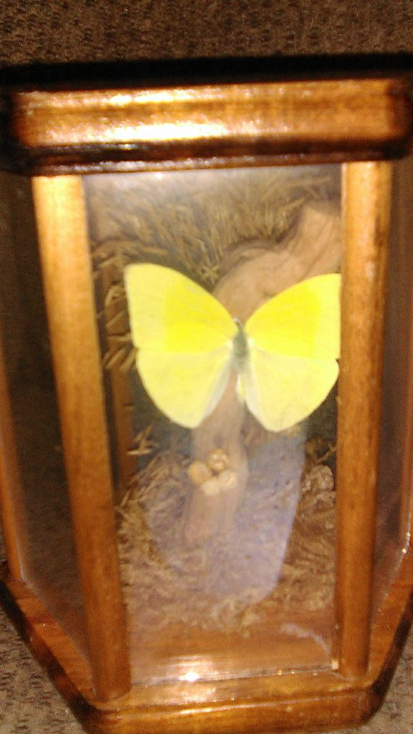 2 butterflys in display cases