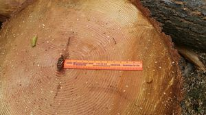 60 year old Douglas Fir for sale for Sale in Renton, WA