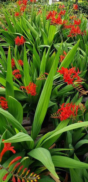Healthy Crocosmia for Sale in Vancouver, WA