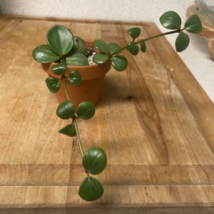 Peperomia Hope for Sale in Anderson Island, WA