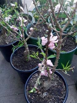 Dwarf Nectarines Trees With Fruit 😃😃🌿🌿🌿🌺🌺 for Sale in Los Angeles,  CA