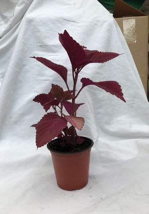 Coleus Plant. for Sale in Woodland Park, NJ