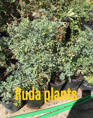 Ruda plants for Sale in National City, CA