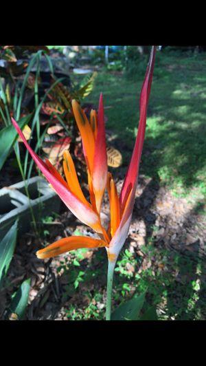 PARROT'S BEAK Or fake bird of paradise plant for Sale in Union Park, FL