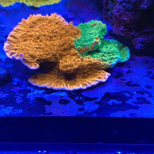 Grafted Montipora Coral Frags For Saltwater Reef Tank for Sale in Miami, FL