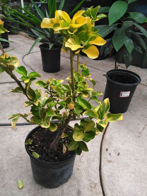 Japanese yellow tree for Sale in Los Angeles, CA