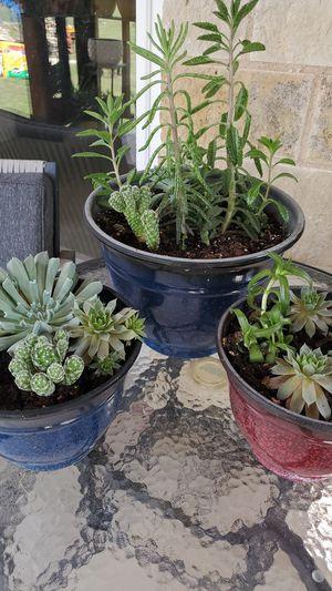 Succulents for Sale in Dallas, TX