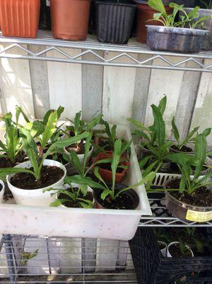Plant - plantas comienzan a 1.00 dólar kissimmee for Sale in Kissimmee, FL