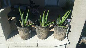 Aloe Vera Plants for Sale in Santa Fe Springs, CA