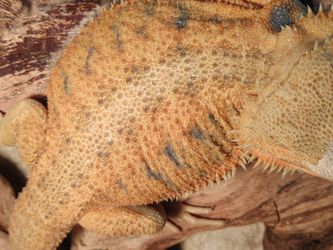 Blue Bar Bearded Dragon for Sale in Morgan Hill,  CA