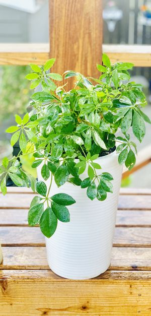Live indoor Umbrella house plant in a textured ceramic planter flower pot—firm price for Sale in Seattle, WA