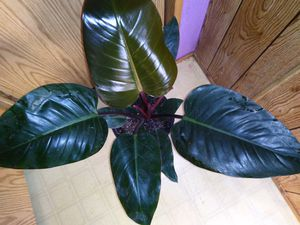 Beautiful red congo for Sale in Woodburn, OR