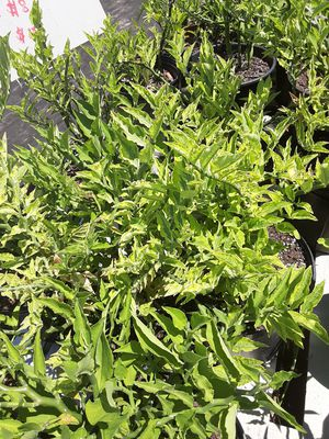 "Euphorbia tithymaloides ""Devil's backbone for Sale in New Port Richey, FL"