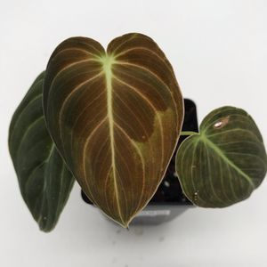 Philodendron Melanochrysum for Sale in Chino, CA