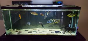 Need to Rehome Chiclids ASAP for Sale in Darien, IL