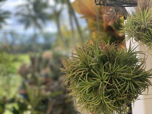 Airplants for Sale in Kapolei, HI