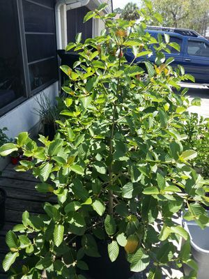 Trees for sale (kratom) for Sale in Orlando, FL