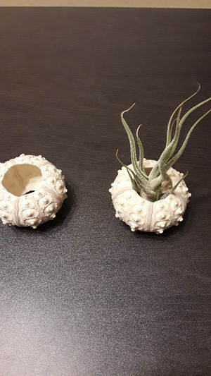 Air plant and sea urchin jellyfish style holder container for Sale in Everett, WA