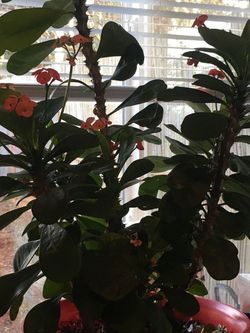 Crown of Thorns Plant for Sale in Beaverton,  OR