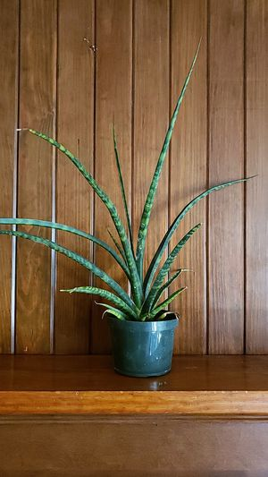 Sanserveria plant 6 inch pot for Sale in Acworth, GA