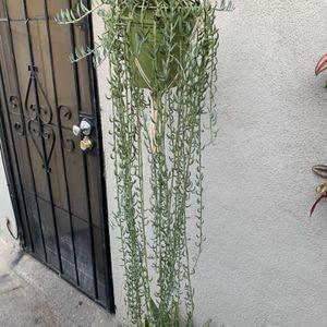 Succulent Xgrande Colgadera for Sale in Downey, CA