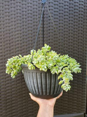 Cliff Cotyledon Pendens Succulent Plant for Sale in Westminster, CA