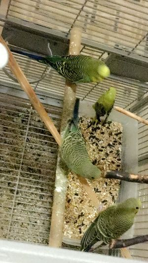 Bring cage and take beautiful budgies birds for Sale in Manassas Park, VA