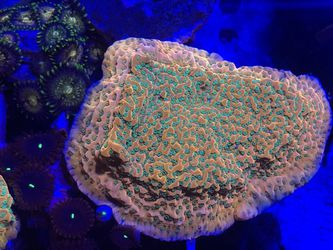 RR Tropic Thunder Monti, Sps, Coral, Aquarium for Sale in Gardena,  CA