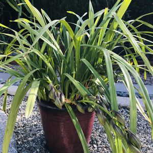 Cymbidium Orchid | 7 Spikes | In 2 Gallons Pot for Sale in Costa Mesa, CA